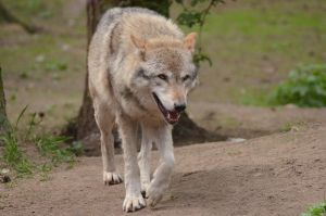 Graywolf 4 by Lakela