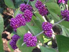 Purple Berries by nancy24601