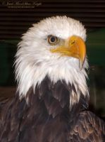 MAJESTIC BALD EAGLE by NocturneJewel