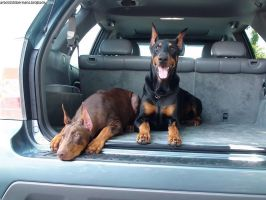 Dobermans In The Trunk by arbooz2000