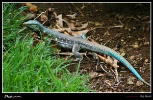 Big lizard... by simoner