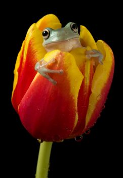 Whites tree frog on tulip by AngiWallace