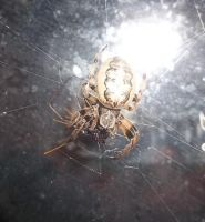 Orb weaver by Aki125