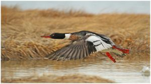 Red-breasted Merganser by Ryser915