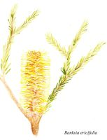 Banksia ericifolia watercolour by skadieverwinter