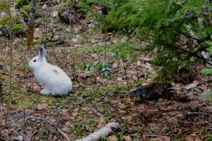 white Rabbit by BCMountainClimber