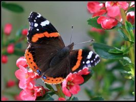Red Admiral 3 by cycoze