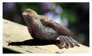 How the Baby Finch Beats the Heat by richardcgreen