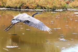 Blue Heron 2 by smfoley