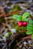 Lingonberry. by Hanibabe