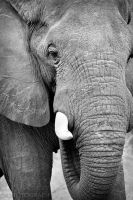 Elephant in Black and White by DeniseSoden