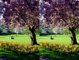 Cherry Bloosom Time In Park Hill Stereo by aegiandyad