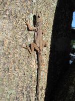 Brown Anole 33 by AxelHonoo