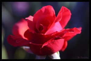 A Red Beauty by shutterbugmom