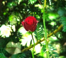 Of the colour Rose III by callmezippy