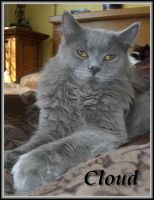 Maine Coon Cat Clloud pic2 by Catskind