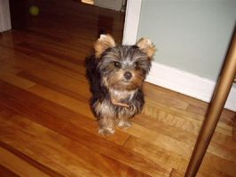 Yorkshire Terrier Gizmo by KakaraHatake