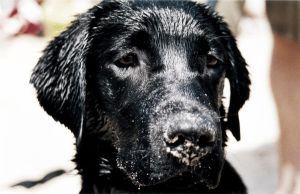 Black Lab by edhall