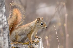 Red Squirrel - Spring by JestePhotography