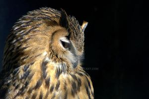 European Eagle Owl by naturelens
