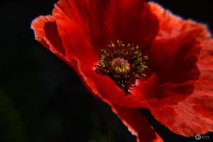 Orange poppy 7 by Philatx