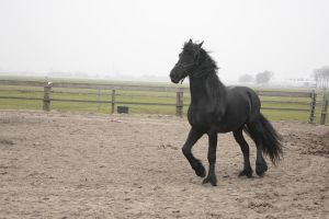 Friesian Stallion 35 by PerfectionStock