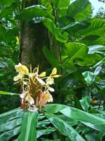 Wild ginger in the Jungle by joeyartist