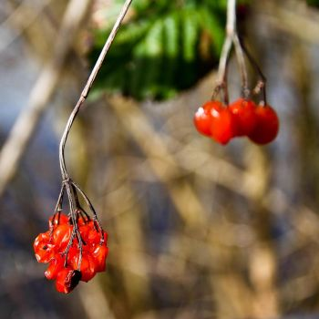 Red Berries... by PurpleT100