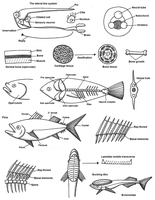 Fish Anatomy vol. 2 by Maleiva