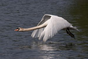 Swan in flight, 2 by FurLined