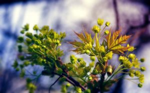 blooming maple by LordBurevestnik