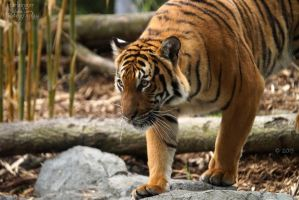 Malayan Tiger 59 by HarbingerPhotography