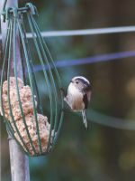 long tailed tit by Blue-eyed-Kelpie