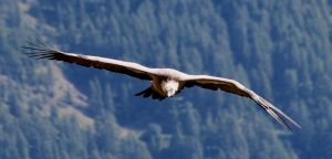 Bird 335 - the fly of the vulture by Momotte2stocks