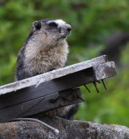 Marmot by JWFisher