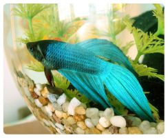 Betta splendens by NiKija