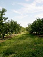 Peach  Orchard Stock 1 by FairieGoodMother