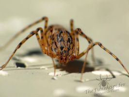 Spitting Spider - Scytodes thoracica Adult female by TheFunnySpider