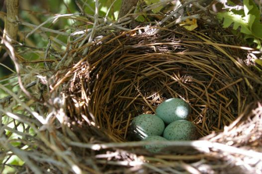 Blue Jay Eggs - Before by VinceVulpes