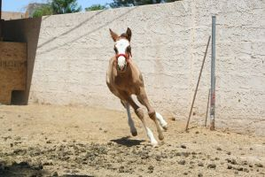 Foal 12 by Mustang4-Stock