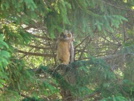 Owl in a tree by TomQuoVadis