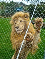 Lion on the fence by Ariel1707
