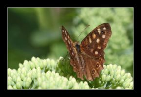 speckled wood by 21711