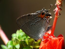 ...,Gray Hairstreak.,, by duggiehoo