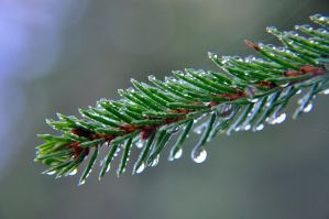 conifer with morning dew by celikoglu