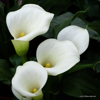White callas by Mogrianne