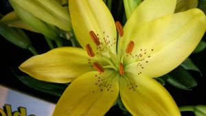 yellow lilly by i-pop