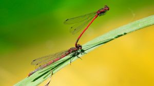 Large Red Damselfly 1600x900 5 by aradilon