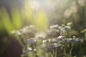 Daisies by piskieheart
