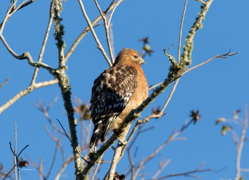 Red Shouldered Hawk, Cold and Sleepy by RickDunlap2
